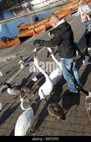 People feeding Swans, Geese and Sea Gulls at Bowness on the shores of Lake Windermere in Cumbria, England. - Stock Photo