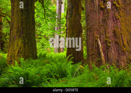 WASHINGTON - Trees and ferns in the Quinault Rain Forest along the North Fork Quinault River Trail in Olympic National - Stock Photo