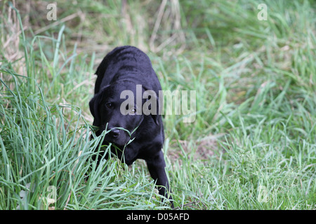 Labrador Retriever Puppy in grass - Stock Photo