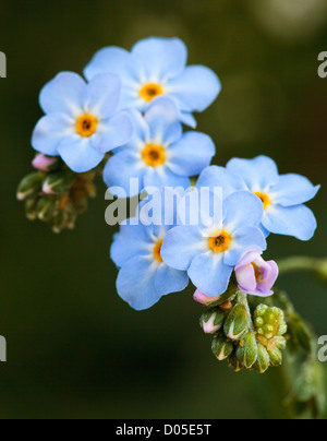 Myosotis scorpioides - Water Forget-me-not - plant in flower. - Stock Photo