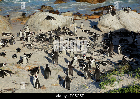 Breeding colony of African penguin (Spheniscus demersus), Western Cape, South Africa - Stock Photo