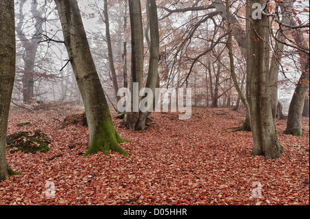 Common European beech mature woodland forest in autumn mist and drizzle - Stock Photo