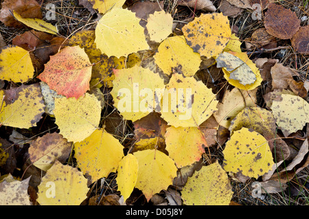 Large-tooth, Big-tooth, or American aspen, Populus grandidentata, fallen leaves in autumn; in the Adirondack Mountains - Stock Photo