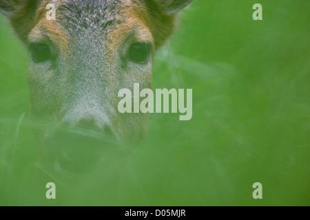 Portrait of Roe deer (Capreolus capreolus) - Stock Photo