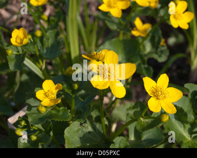 Caltha palustris, kingcup, marsh marigold, a common springtime flower in the forests surrounding Oslo Norway - Stock Photo