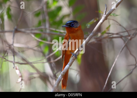 Madagascar paradise flycatcher femaleperched on thin branch in Madagascar - Stock Photo