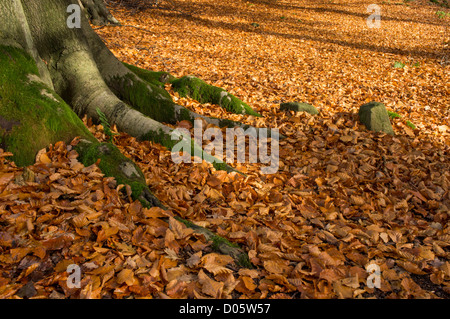 Close-up of trunk & spreading roots of beech tree, forest floor covered in carpet of sunlit brown leaves - Bolton - Stock Photo