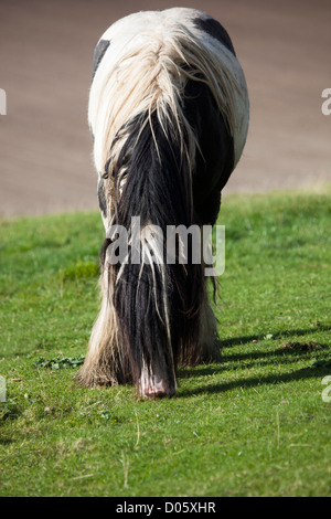 Horse with Long Hair feeding in field - Stock Photo