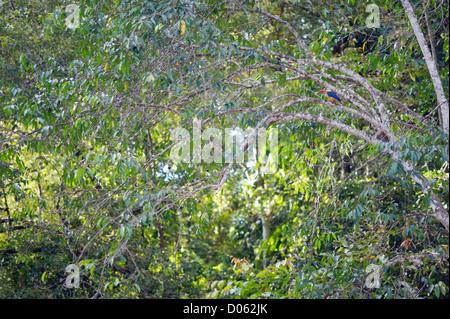 Stork-billed Kingfisher (Pelargopsis capensis), Kinabatangan River, Sabah, Borneo - Stock Photo