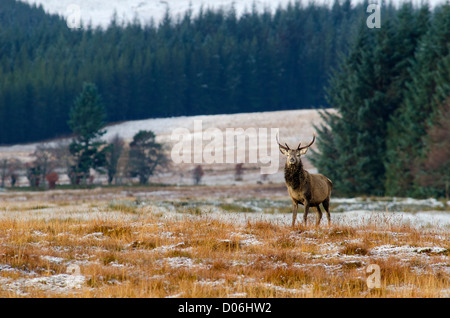 Red deer stag photographed in the Cairngorms the Scottish highlands  Cervus elaphus - Stock Photo