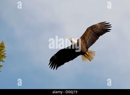 American Bald Eagle (Haliaeetus leucocephalus) approaching it's  tree nest.  SCO 8796 - Stock Photo