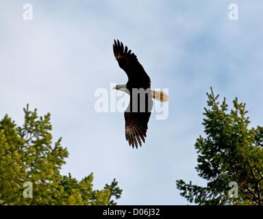 American Bald Eagle (Haliaeetus leucocephalus) flying up to it's nesting tree.  SCO 8797 - Stock Photo