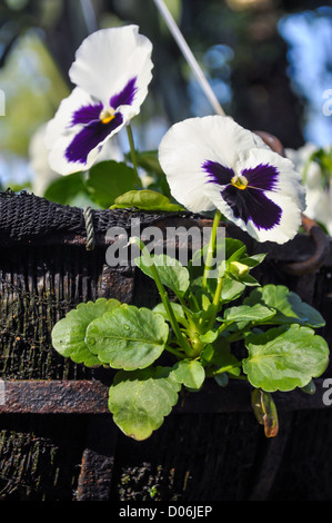 The close up of white pansy. - Stock Photo