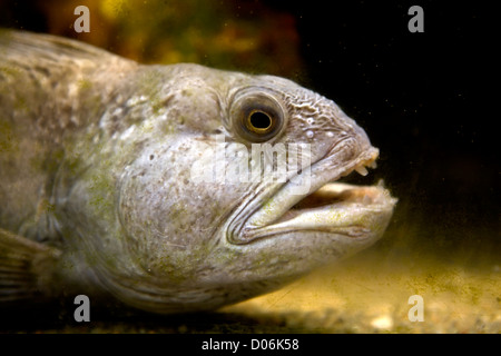 Atlantic Wolffish - Stock Photo