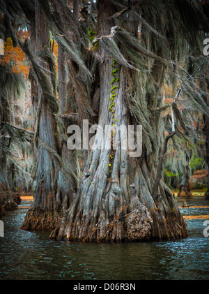 Cypress trees in Caddo Lake State Park, Texas