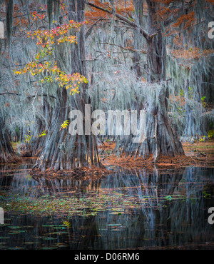 Cypress trees in fall color at Caddo Lake State Park, Texas - Stock Photo