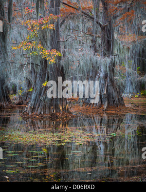Cypress trees in fall color at Caddo Lake State Park, Texas