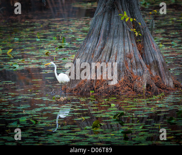 Egret on cypress tree at Caddo Lake State Park in east Texas - Stock Photo