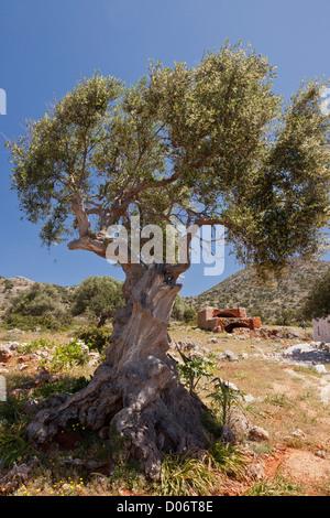 Old olive tree, Olea europaea on Crete, Greece. - Stock Photo