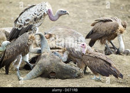 Vultures and carcass Mikumi National Park . Southern Tanzania. Africa - Stock Photo