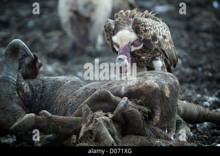 Vulture and carcass Mikumi National Park . Southern Tanzania. Africa - Stock Photo