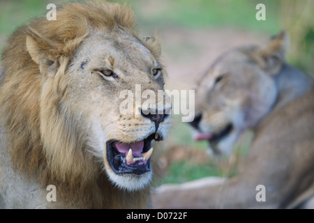 Male and female African Lion   Panthera leo  in Mikumi Game reserve . Southern Tanzania. - Stock Photo
