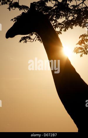 Giraffe in silhouette  Giraffa camelopardalis Mikumi Game reserve . Southern Tanzania. Africa - Stock Photo