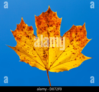 Autumn Sycamore Leaf close up against blue sky - Stock Photo