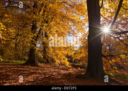 Autumn Trees in Clumber Park, Nottingham, Nottinghamshire, England, UK, EU, Europe - Stock Photo
