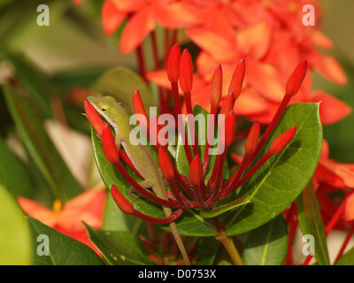 A tiny anole lizard hides among the bright red florets of a tropical plant in Cuba - Stock Photo