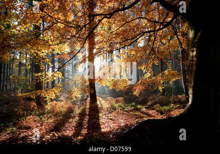 beech tree, marsham woods, norfolk, england - Stock Photo