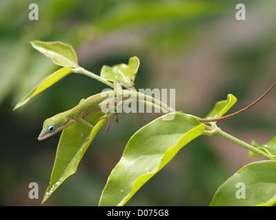 A tiny juvenile green anole lizard or Carolina Anole (Anolis carolinensis) hides among the green leaves of a tropical - Stock Photo