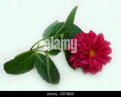 flower; dahlia; one magenta; red; green; leaves; autumn; plants; flora; composition; gift; greeting; isolated; light - Stock Photo