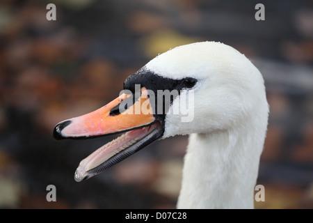 Mute Swan genus Cygnus Cygnus olor showing its teeth - Stock Photo