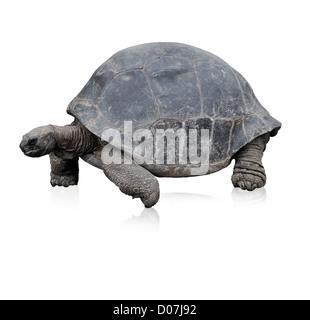 Galapagos Giant Tortoise,Isolated On White - Stock Photo