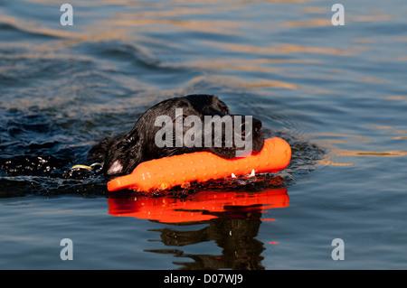 Black Labrador retriever retrieving training bumper - Stock Photo