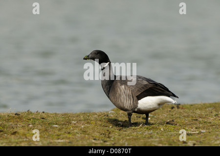 Dark-bellied Brent Goose ( Branta bernicla) feeding on vegetation, Holland, May - Stock Photo