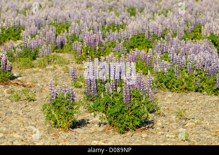 Wild Lupin (Lupinus polyphyllus) in flower, Iceland, June - Stock Photo