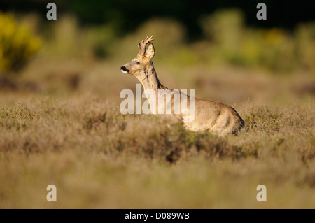 Western Roe Deer (Capreolus capreolus) male standing amongst heather, Holland, May - Stock Photo