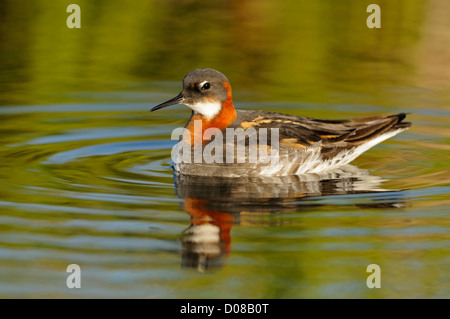 Red-necked Phalarope (Phalaropus lobatus) female swimming, Iceland, June - Stock Photo