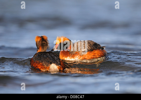 Slavonian or Horned Grebe (Podiceps auritus) pair in breeding plumage swimming together, Iceland, June - Stock Photo