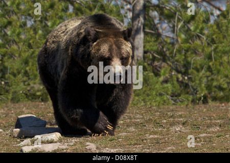 Grizzly bear, Ursus arctos horribilis, Grizzly and Wolf Discovery Centre, West Yellowstone, Montana, USA - Stock Photo