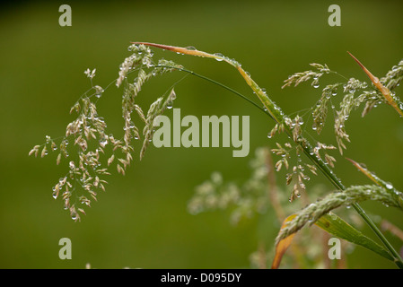 Grasses, mainly Yorkshire-fog (Holcus lanatus) in flower after rain, close-up, in summertime - Stock Photo