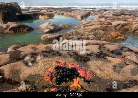 Ochre Seastars, Anemones and mussels exposed at low tide in the intertidal zone on the offshore rocks in Olympic - Stock Photo