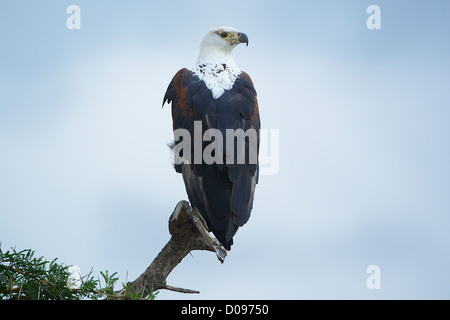 African Fish Eagle - Haliaeetus vocifer Mikumi National Park . Southern Tanzania. Africa - Stock Photo