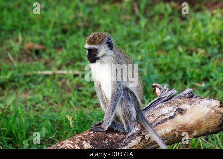 Velvet monkey, Tarangire National park, Tanzania, Africa - Stock Photo