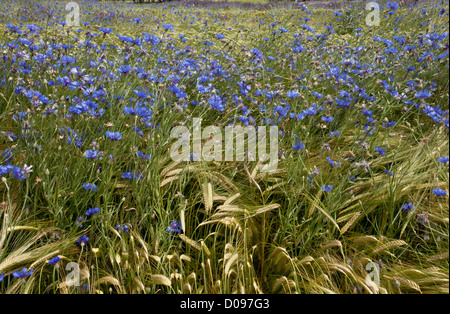 Wheat field full of arable weeds, especially Cornflowers (Centaurea cyanus) near Gap, south France, Europe - Stock Photo