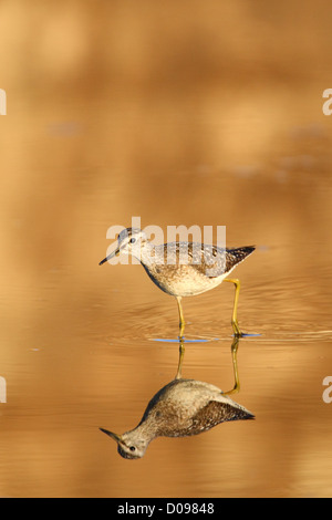 Wood Sandpiper (Tringa glareola) is looking for food in evening light. Europe - Stock Photo