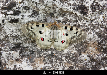 Apollo butterfly (Parnassius apollo) close-up, settled on rocks, Maritime Alps, France, Europe - Stock Photo