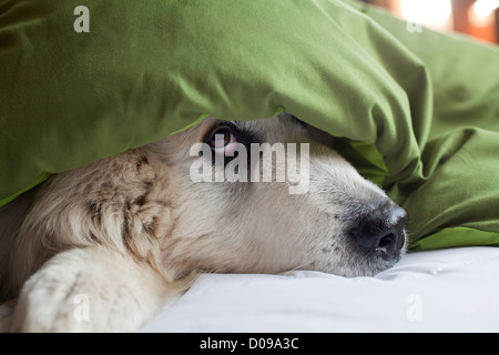 Great Pyrenees dog peeking out from under blanket on bed. - Stock Photo
